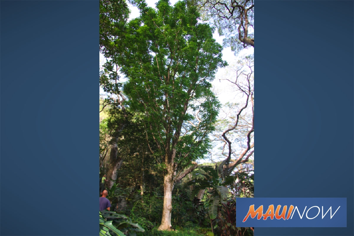 Hawaiʻi Big Tree Competition Taking Nominations