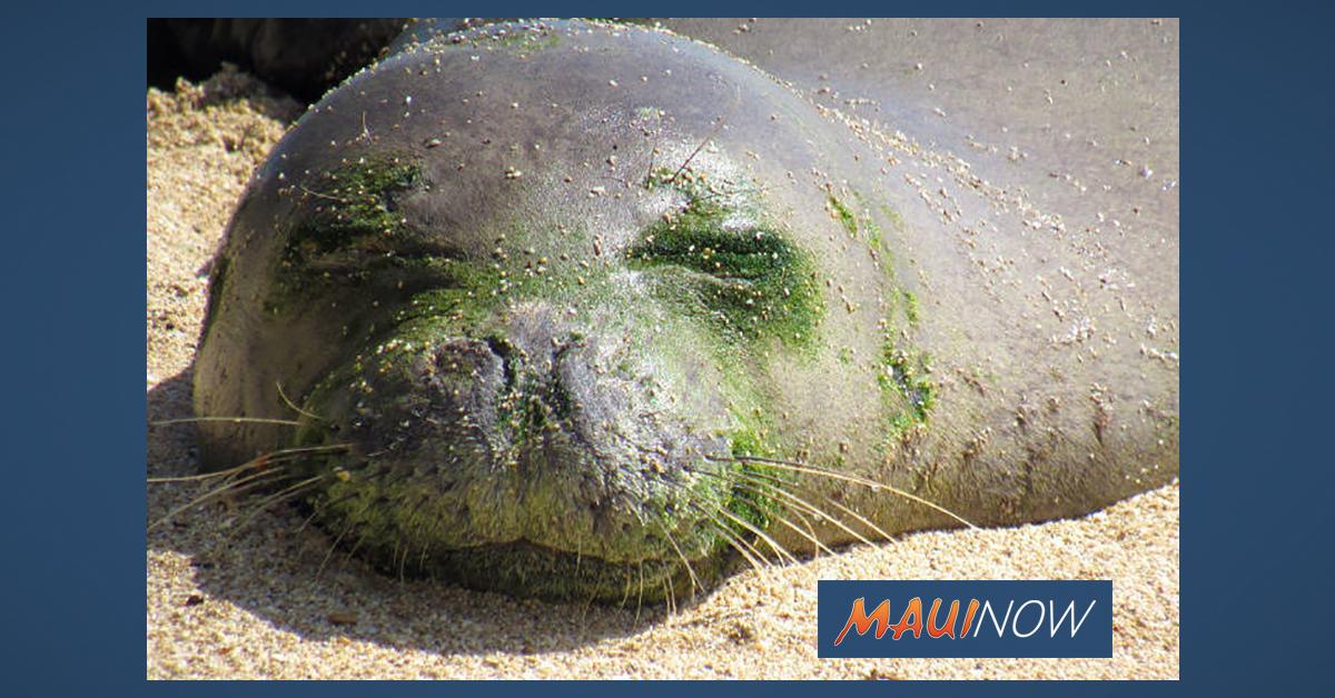 Monk Seal Transferred from O'ahu to Hawai'i Island Rehabilitation Facility
