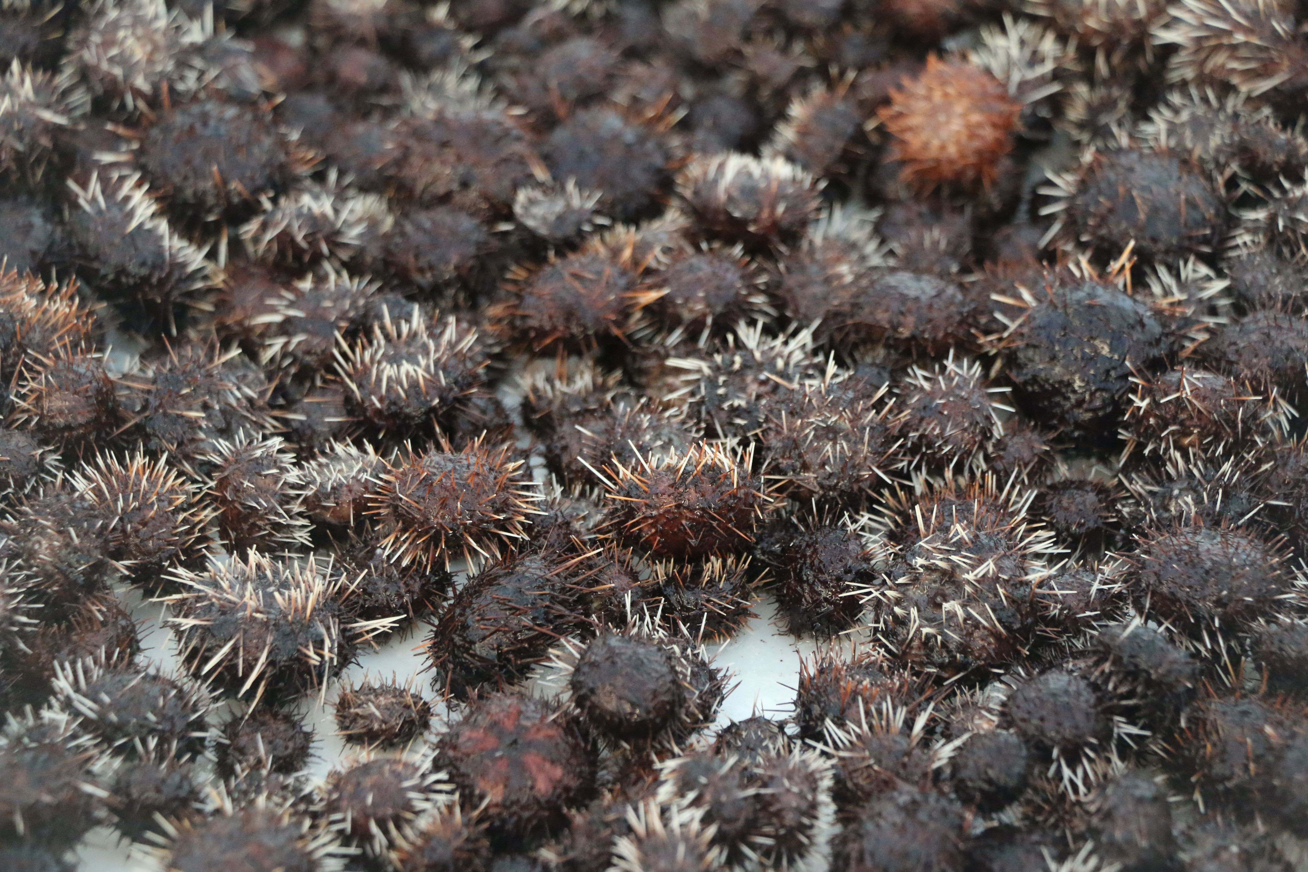 DLNR Uses Sea Urchins to Curb Invasive Seaweed