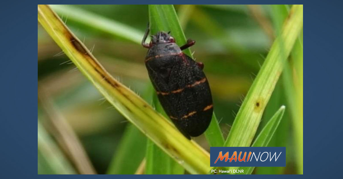 Schatz Seeks Federal Help to Fight Invasive Spittlebug on Hawai'i Island