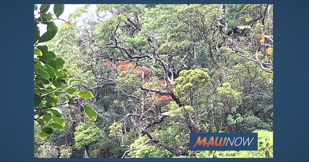 Rapid 'Ōhi'a Death Detected in Fifth Tree on O'ahu