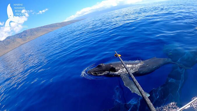 Scientists Take a Look at Maui Whale Behavior