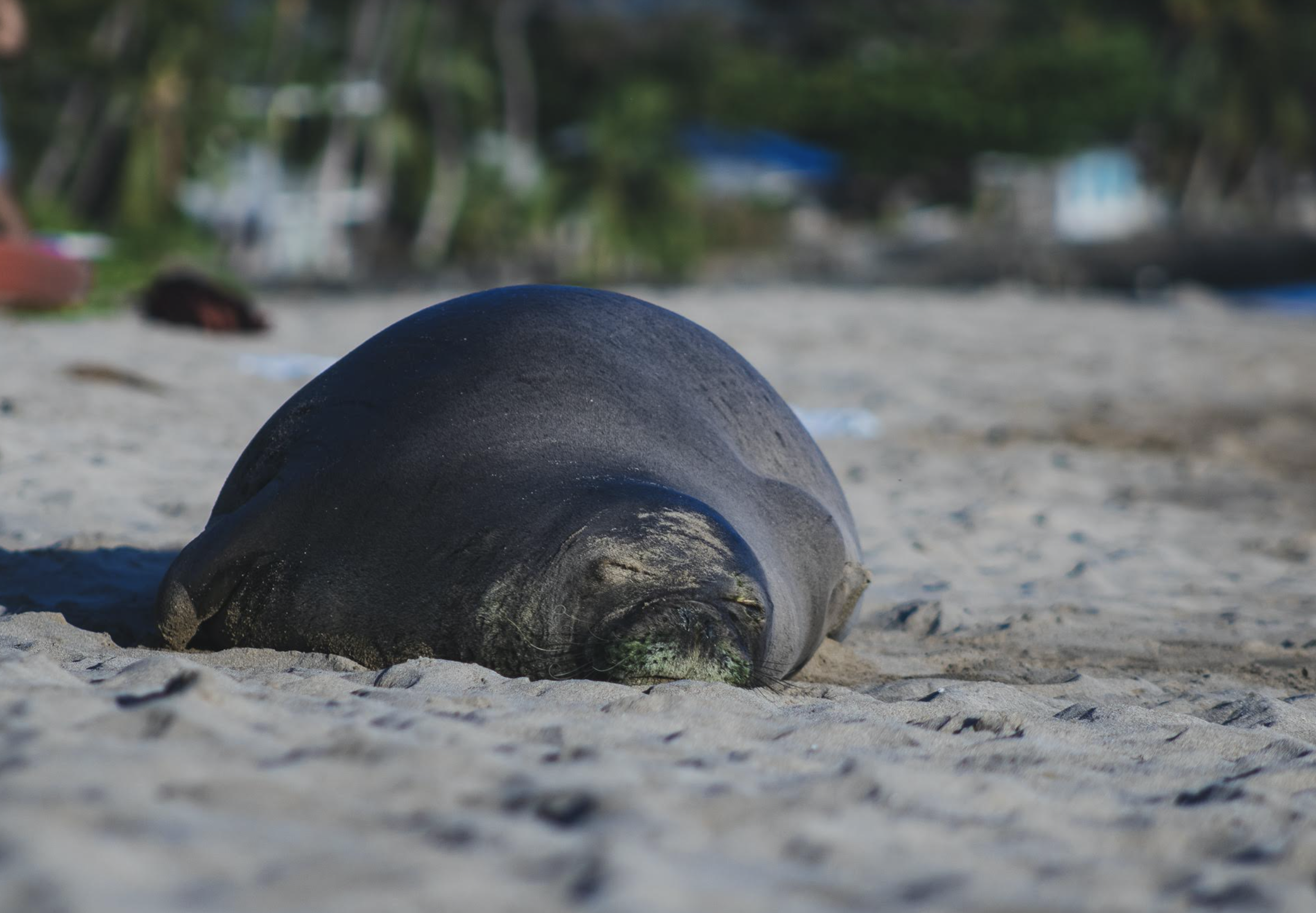 Gov. Ige Asks for Respect Amid Videos of People Touching Endangered Seals