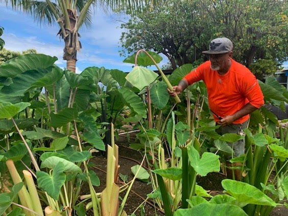 Lahaina Farmers Plan to Share Kalo With The Community