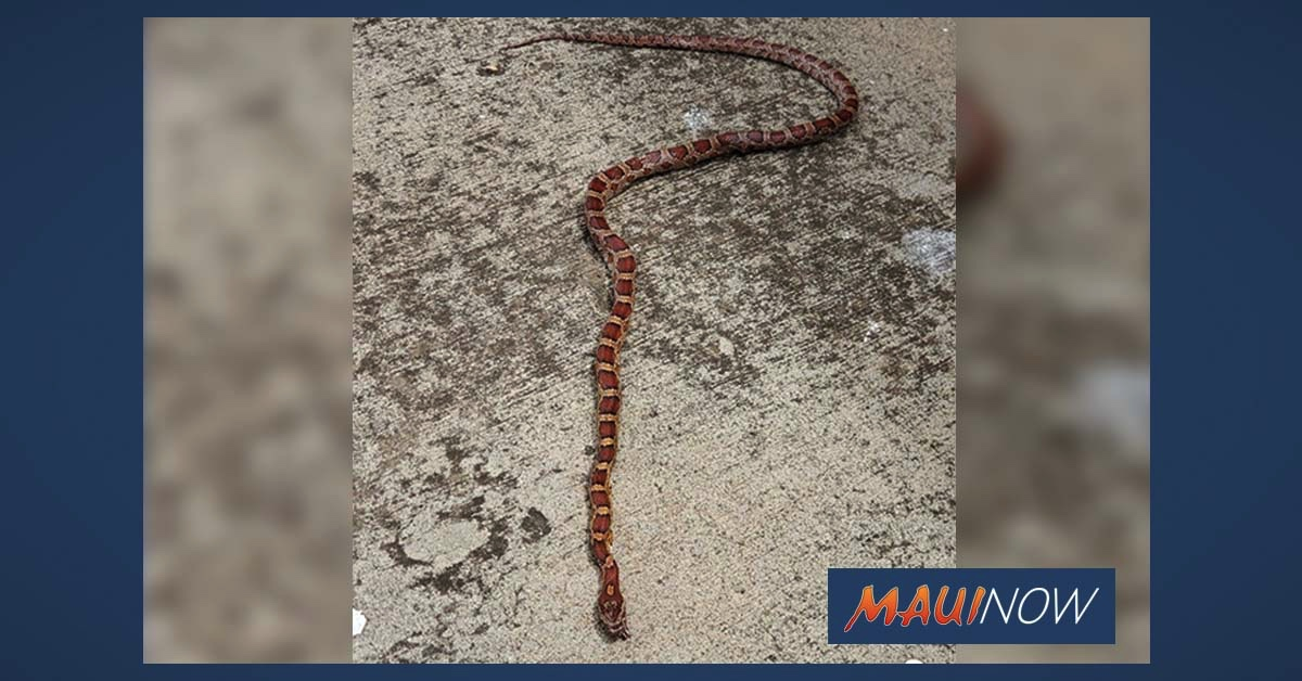 Dead 2-Foot Corn Snake Found Fronting Kahului Restaurant