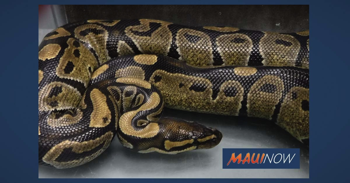 Four Foot Ball Python Snake Captured in Hilo