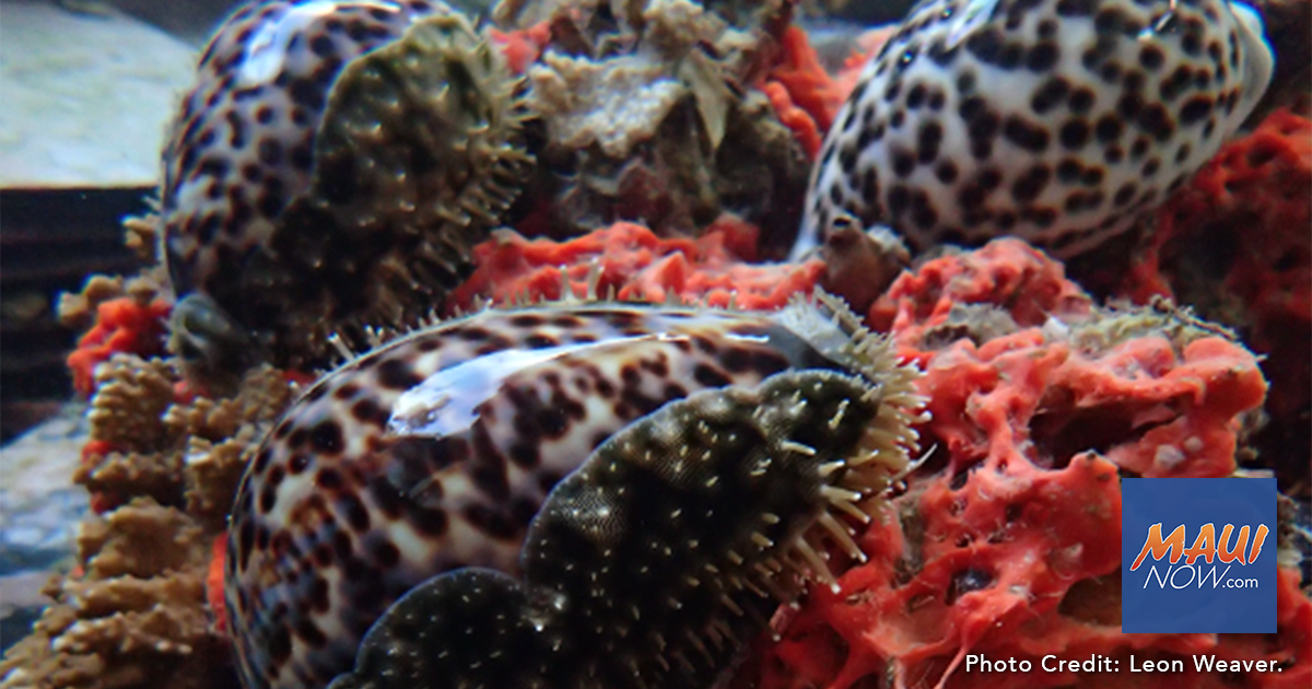 Native Hawaiian Sea Snails Eat Invasive Sponge