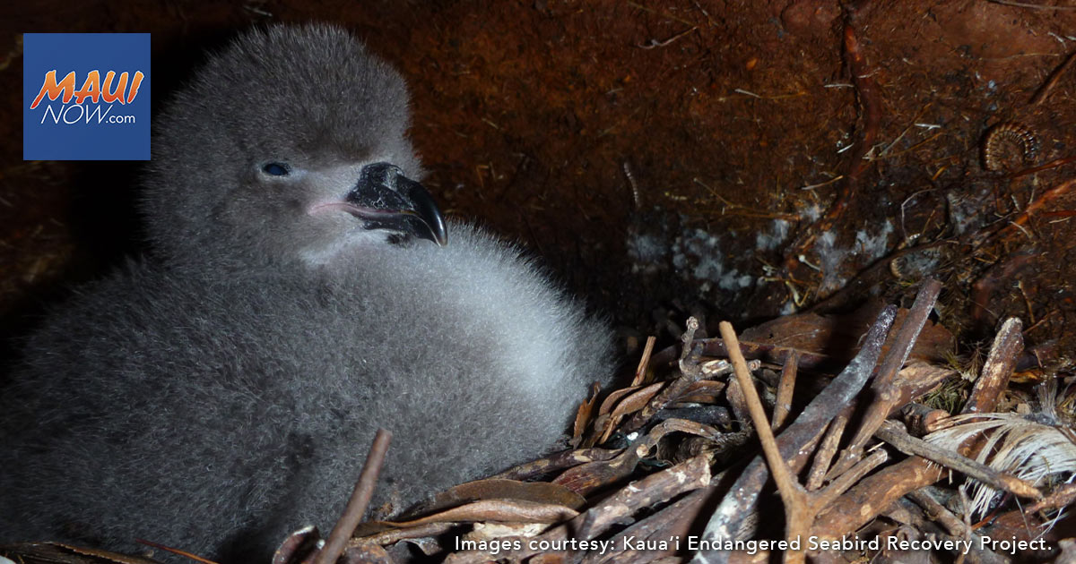 Single Cat Results in the Death of Nine Endangered Native Seabird Chicks on Kaua'i