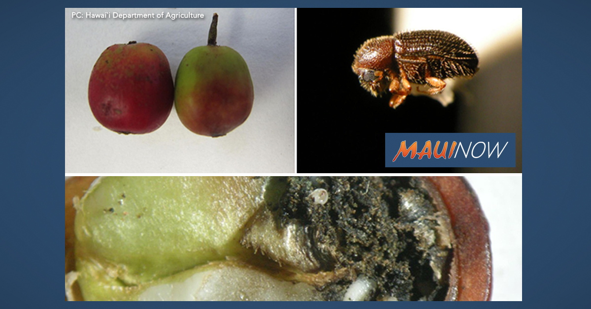 Coffee Berry Borer Pest Confirmed on Lāna'i