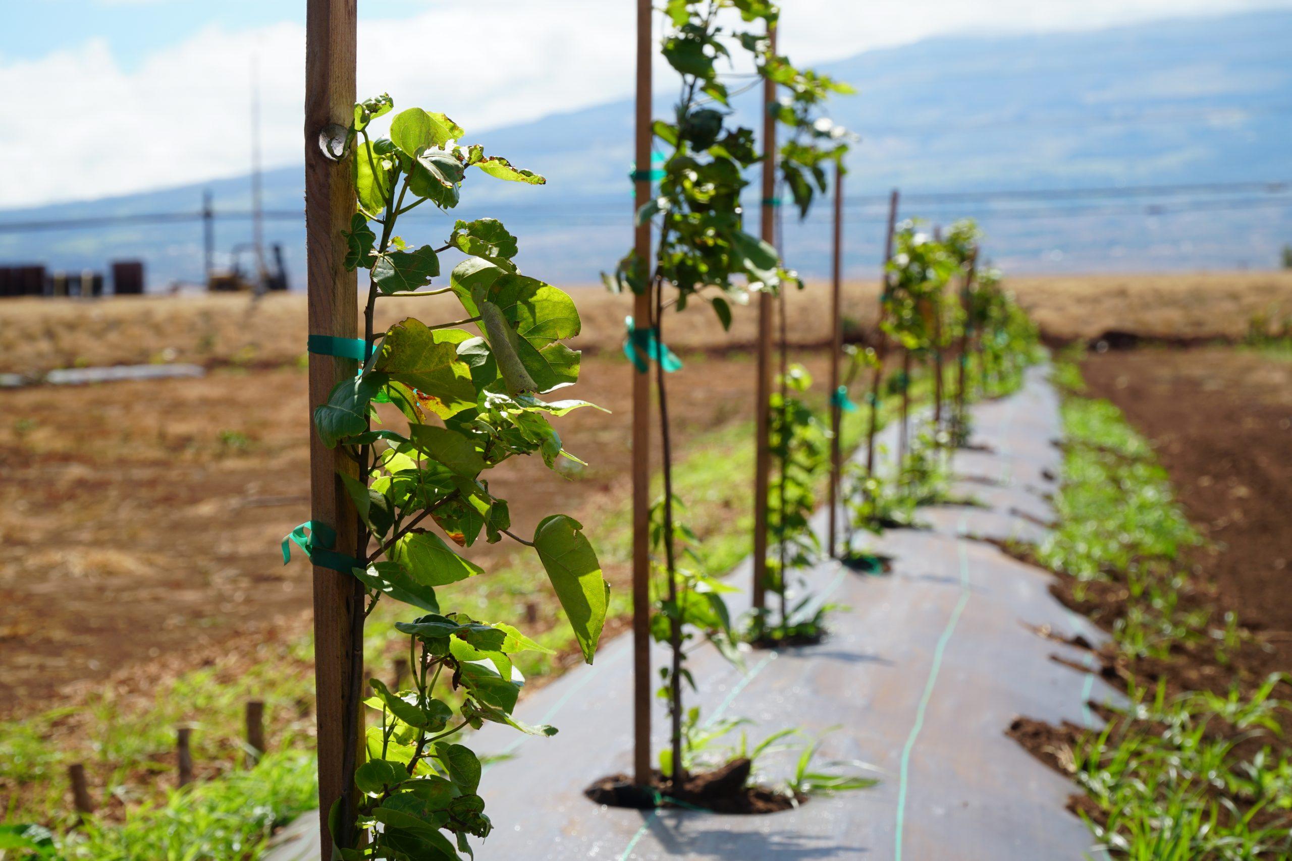 Mahi Pono Seeking Volunteers for Statewide Tree Planting Day with ReTree Hawaiʻi