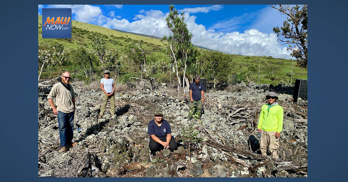 Rare Seedlings Planted at Auwahi to Prevent Extinction of Native Hawaiian Tree