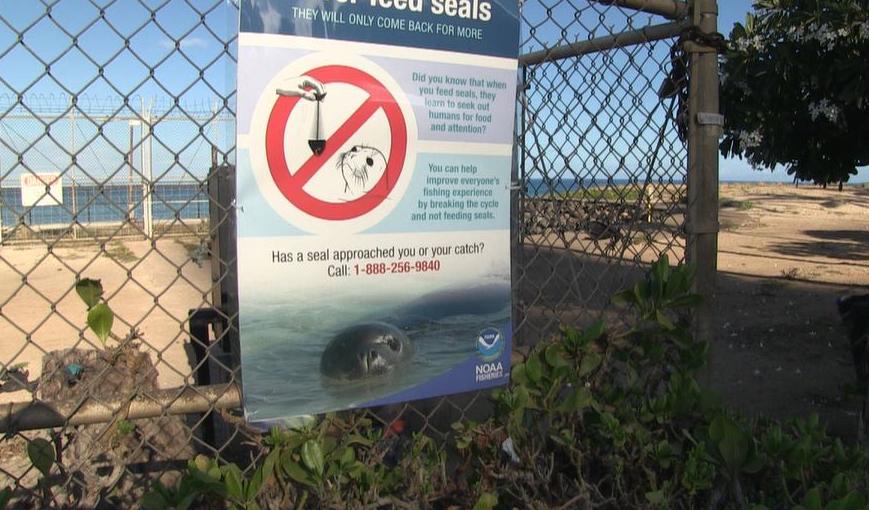 State Warns of Increase in Harmful Monk Seal Hookings and Feedings