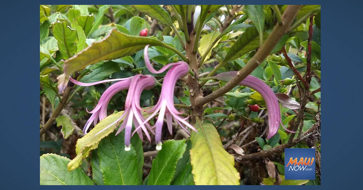 Flower Back from the Brink of Extinction in Haleakalā National Park