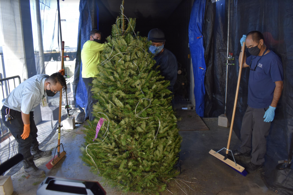 Maui Christmas Trees 2020 Garter Snake Found in Christmas Tree Shipment | Maui Now | Hawaii News