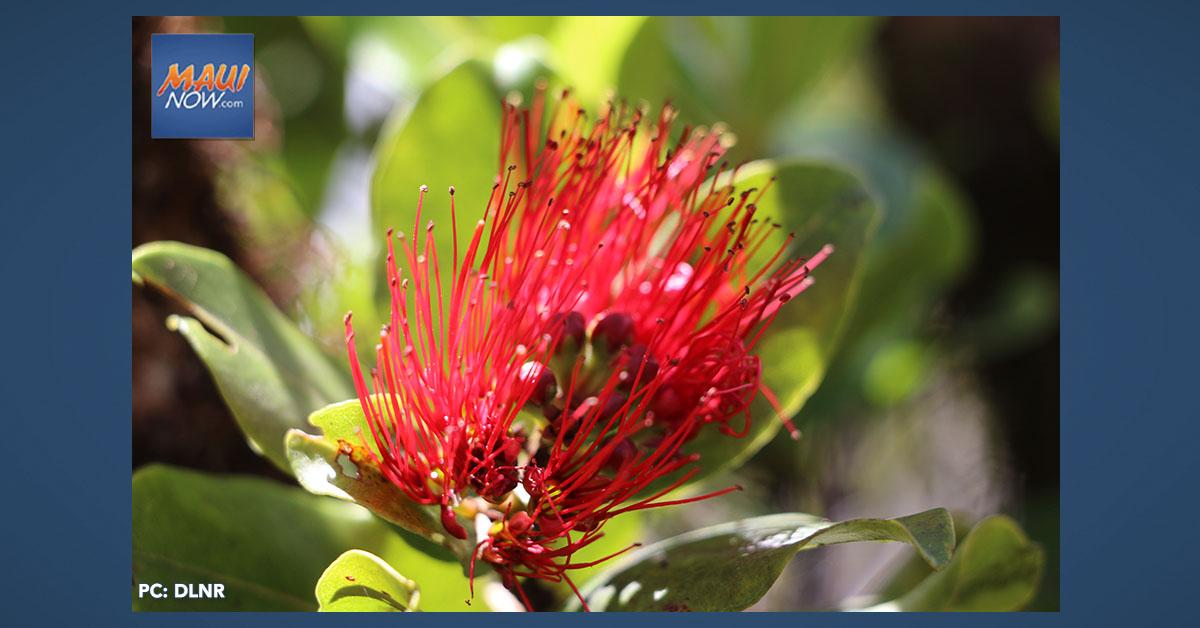 Annual ʻŌhiʻa Love Fest to Go Virtual on Nov. 16