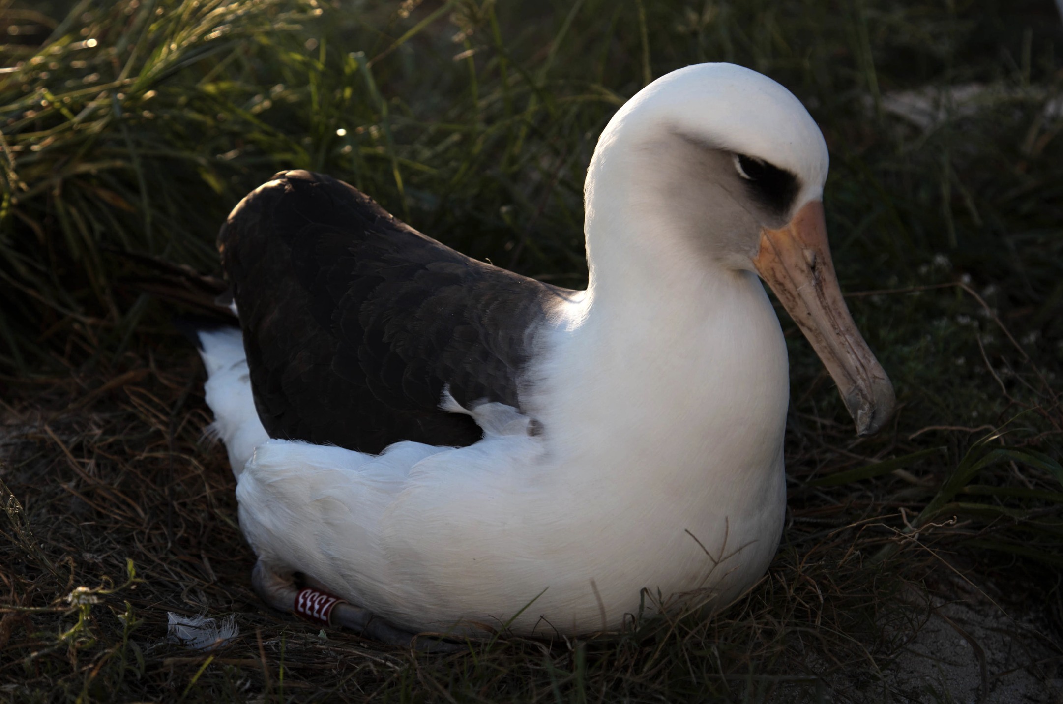 Wisdom, World's Oldest Known, Banded Bird, Returns to Midway Atoll