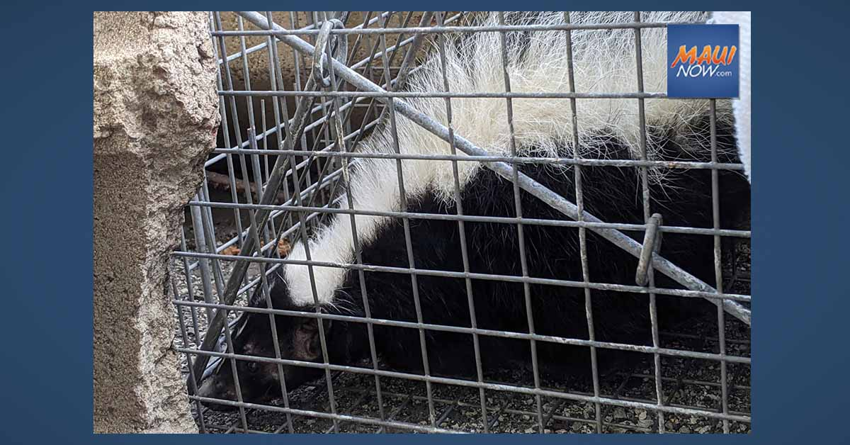 Live Skunk Found and Captured at Kahului Pier on Maui