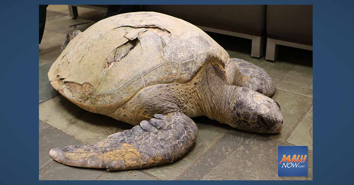 Latest Turtle Hit by Boat is Euthanized; 22 Boat Strikes in 2020 Raises Alarm