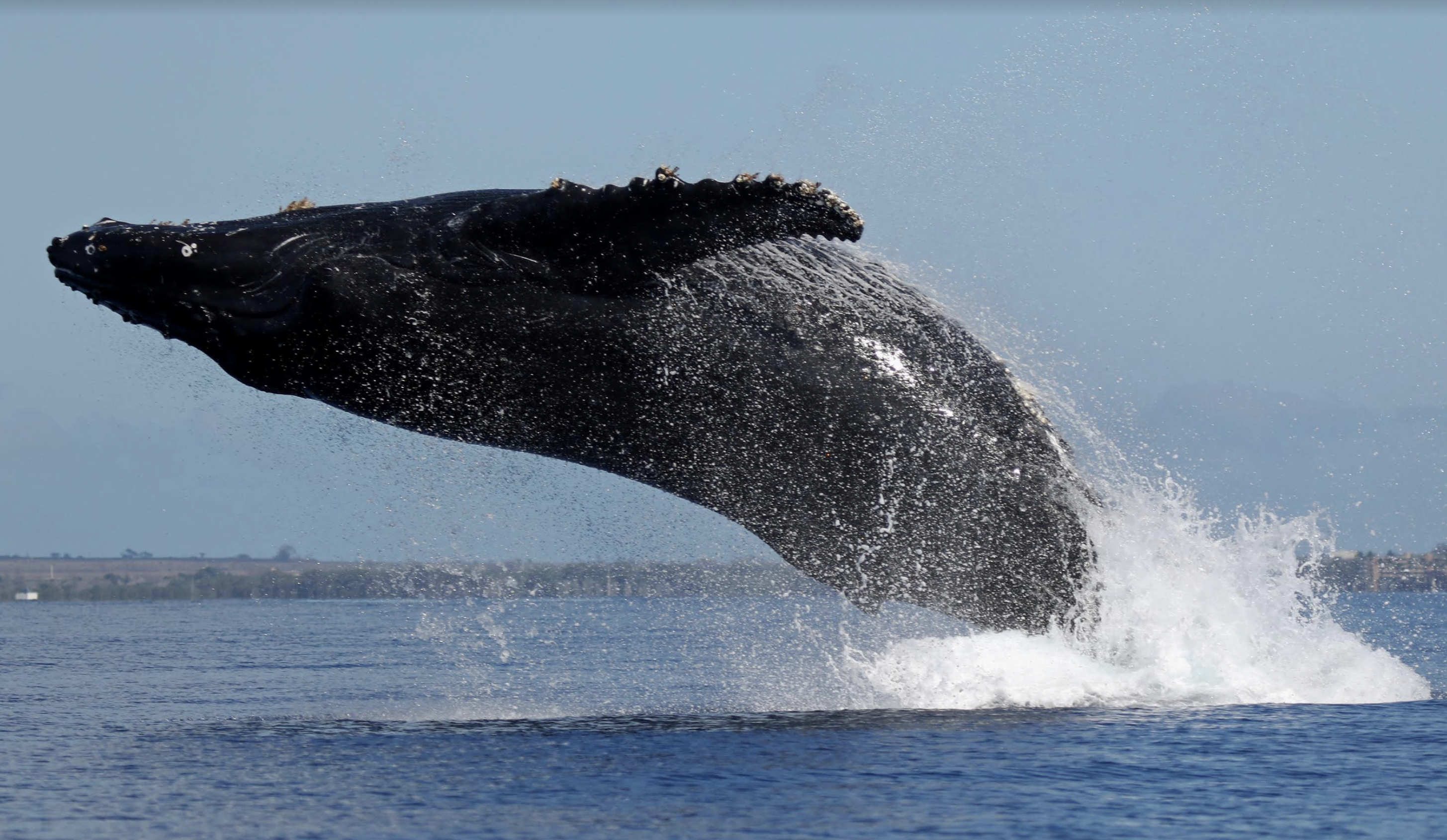 Modified Sanctuary Ocean Count and Great Whale Count Commence for 2021
