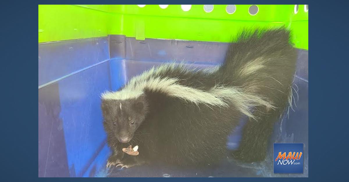 Live Skunk Captured at Honolulu Harbor