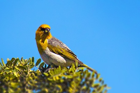 Habitat Protection Work for Endangered Palila Taking Place Feb. 17-18 on Big Island