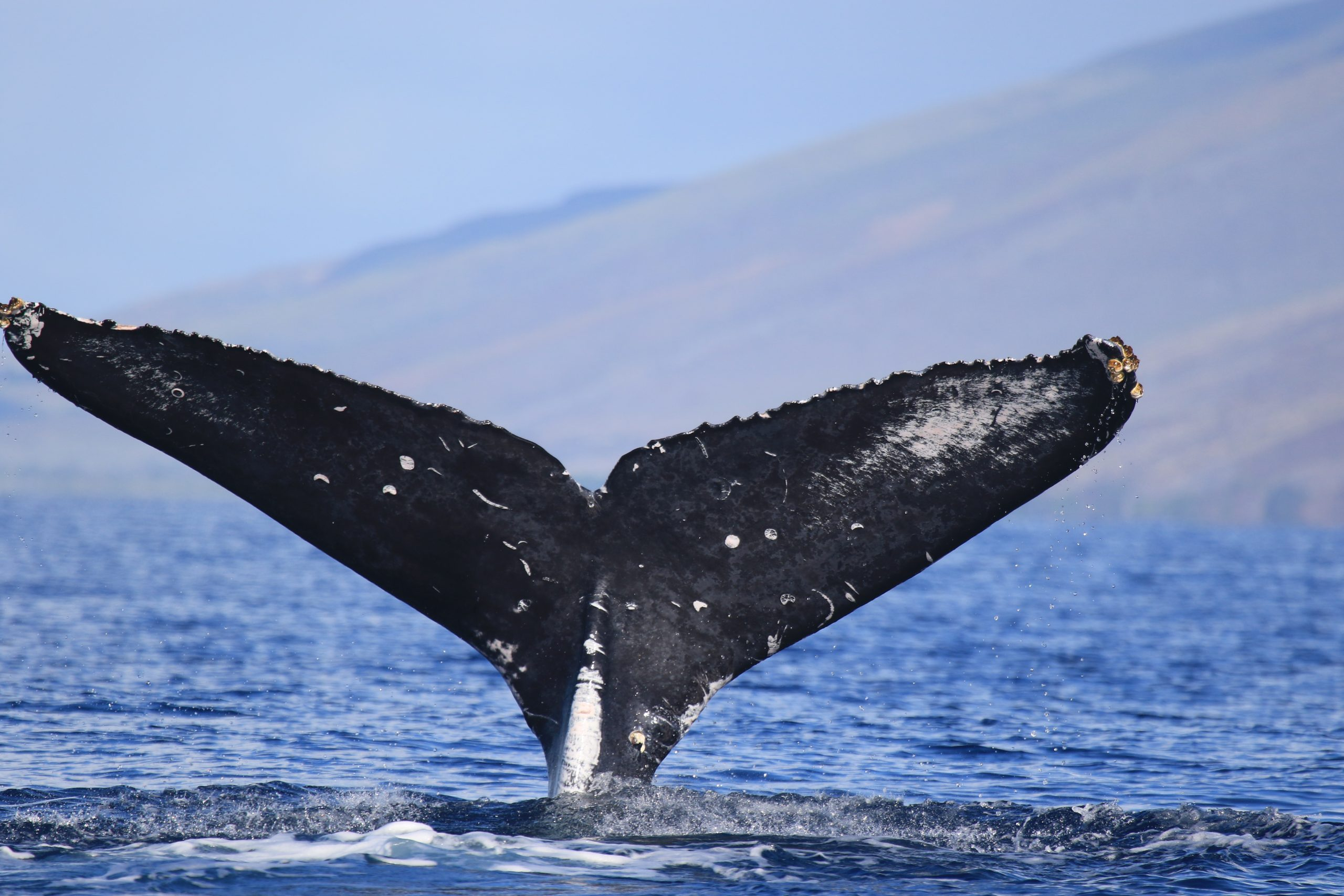 Humpbacks Abundance Trends Documented During Second Coordinated Whale Count of 2021