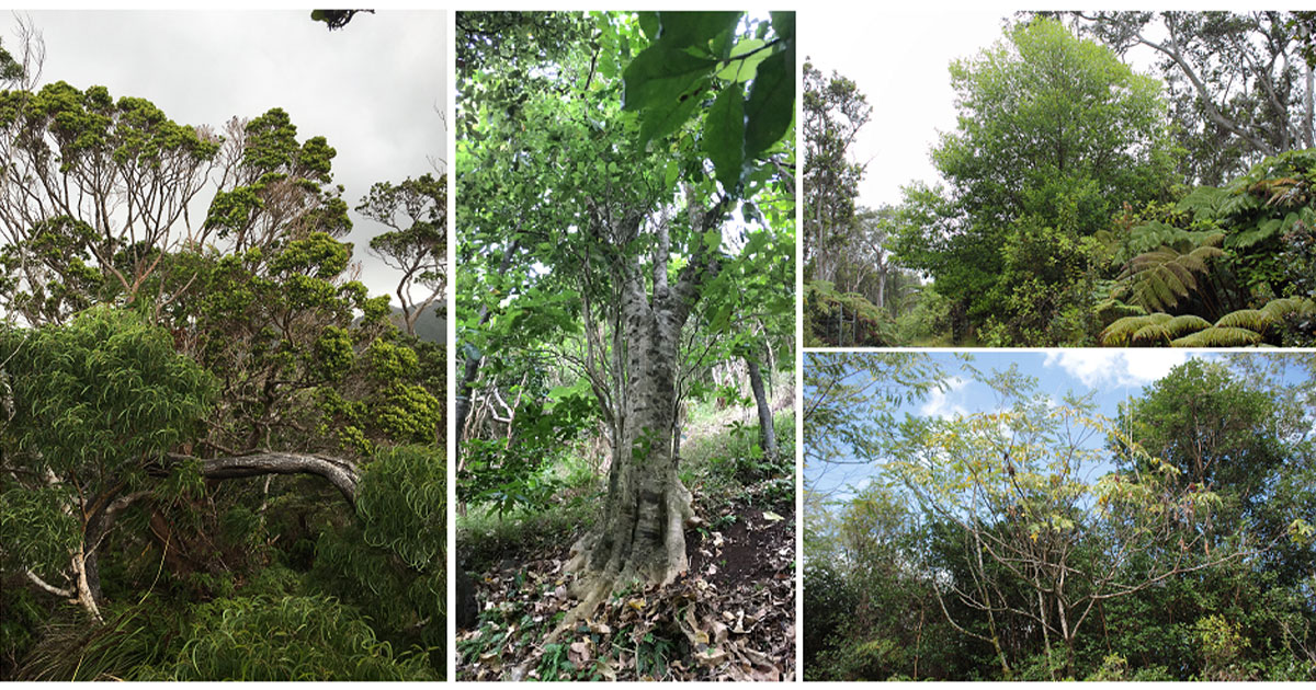 Hawai'i Big Tree Competition Accepting Nominations for Spring 2021 Season