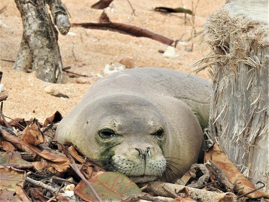 Post-Mortem Exams Reveal Two Hawaiian Monk Seals Likely Drowned in Lay Nets