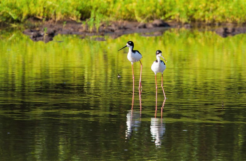 Strong Conversation Efforts Lead to Proposal To Downlist Endangered Hawaiian Stilt to Threatened