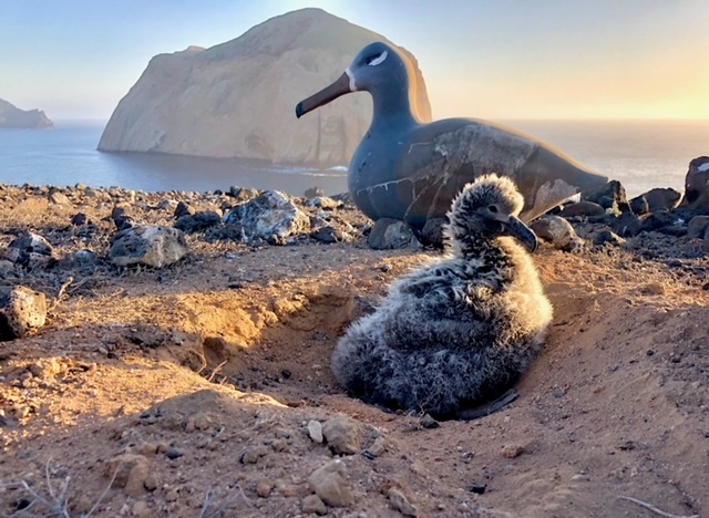 Mexico and US Work Together to Conserve Threatened Black-Footed Albatross