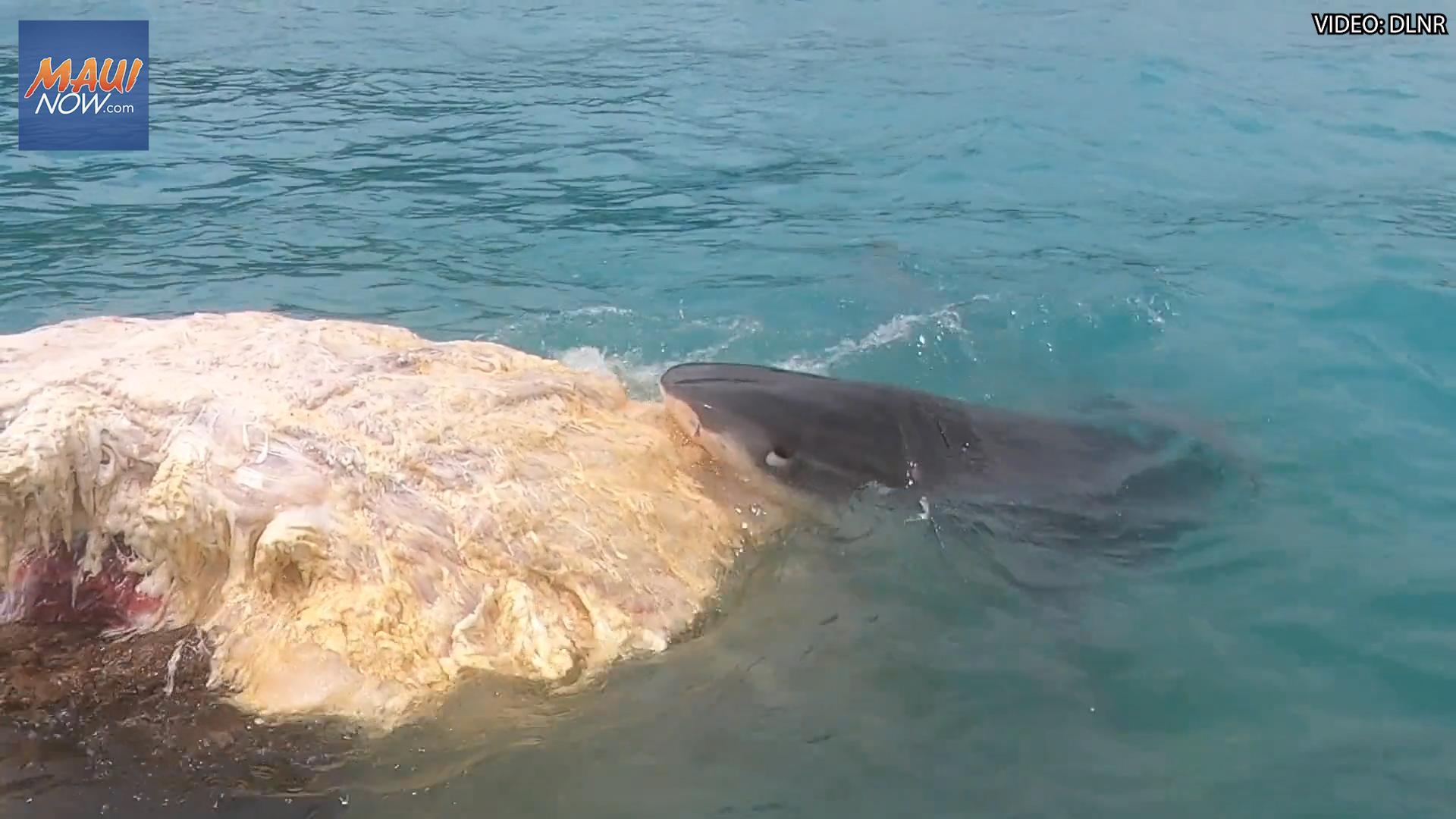VIDEO: Tiger Sharks Feeding on Whale Carcass Off-Shore From Waimānalo
