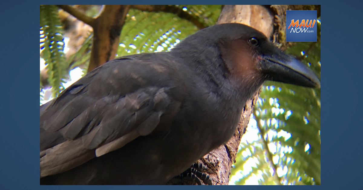Recovery Effort Looks to Maui as Next Step for Future of the Hawaiian Crow