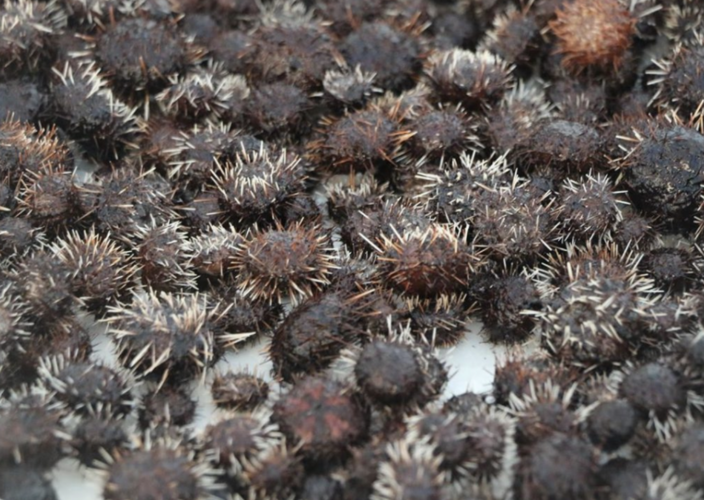 """Conserving Hawai'i's Reefs Through Sea Urchin Aquaculture"" Free Presentation, May 12"