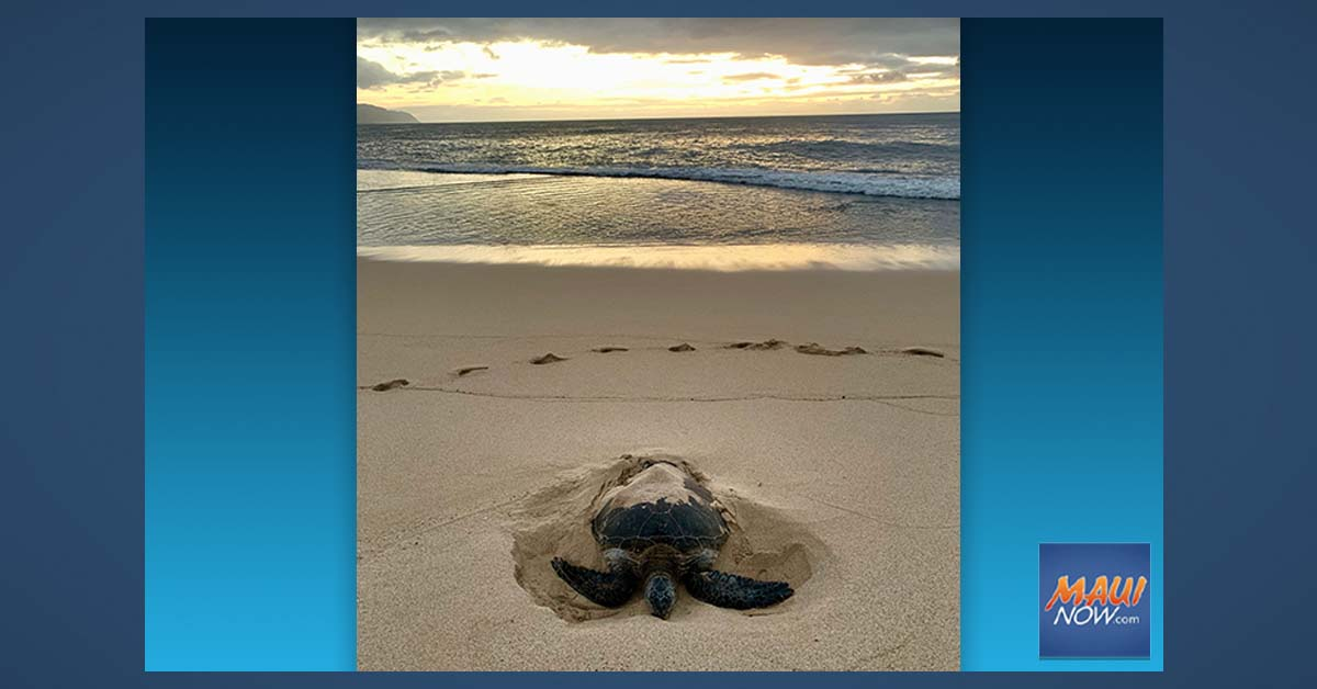 Sea Turtle Nesting Season is Underway in Hawai'i