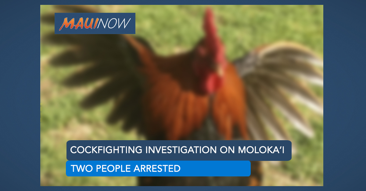 Cockfighting Investigation on Moloka'i Nets Two Arrests
