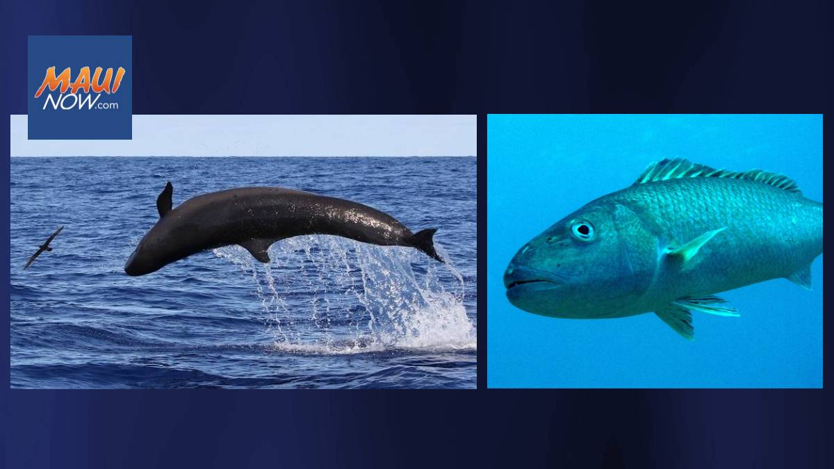 Scientists Support Combined Management for Uku, Review Mitigation for False Killer Whales