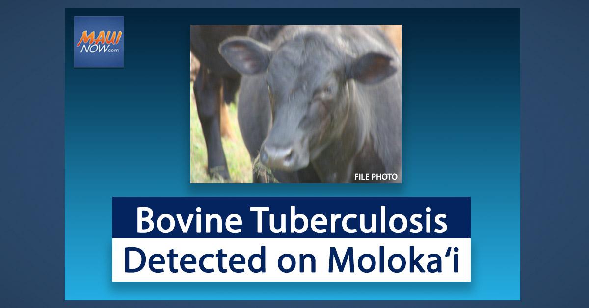 Bovine Tuberculosis Detected on Moloka'i
