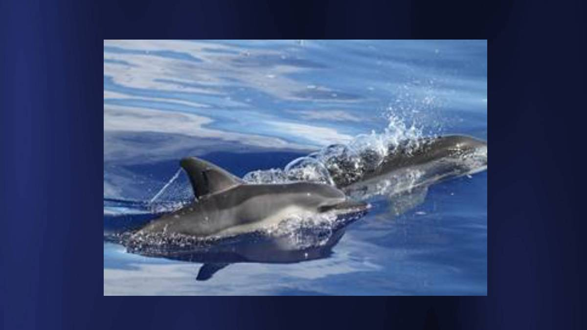 PacWhale Eco-Adventures Offering New 3-Hour Cruise To See Dolphins