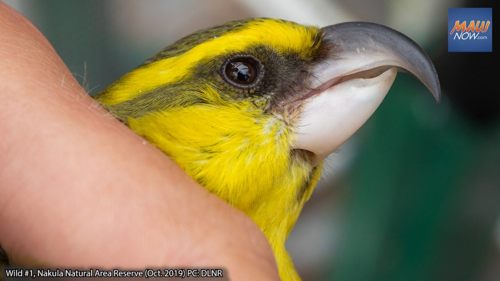 Rare Bird Believed to be Dead, Found Alive in Maui Natural Area Reserve After 605 Days | Maui Now