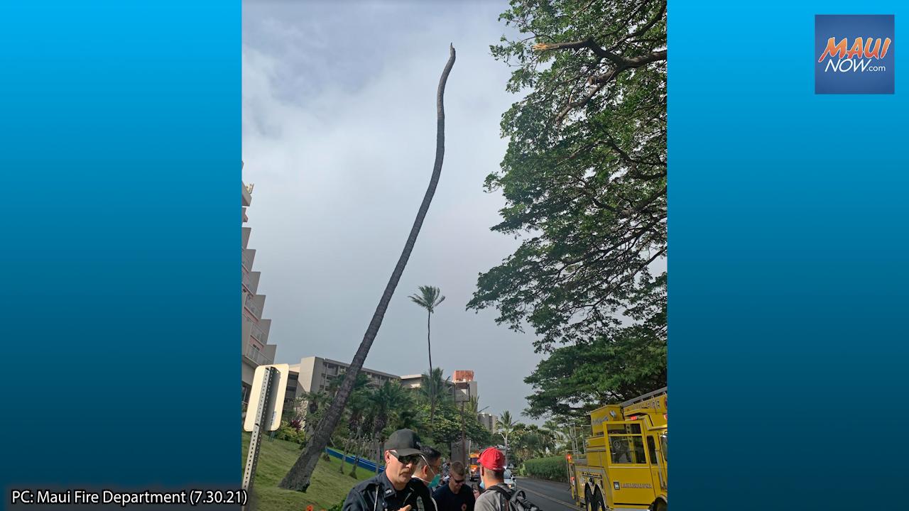 Visitor Struck by Fallen Coconut Tree in West Maui