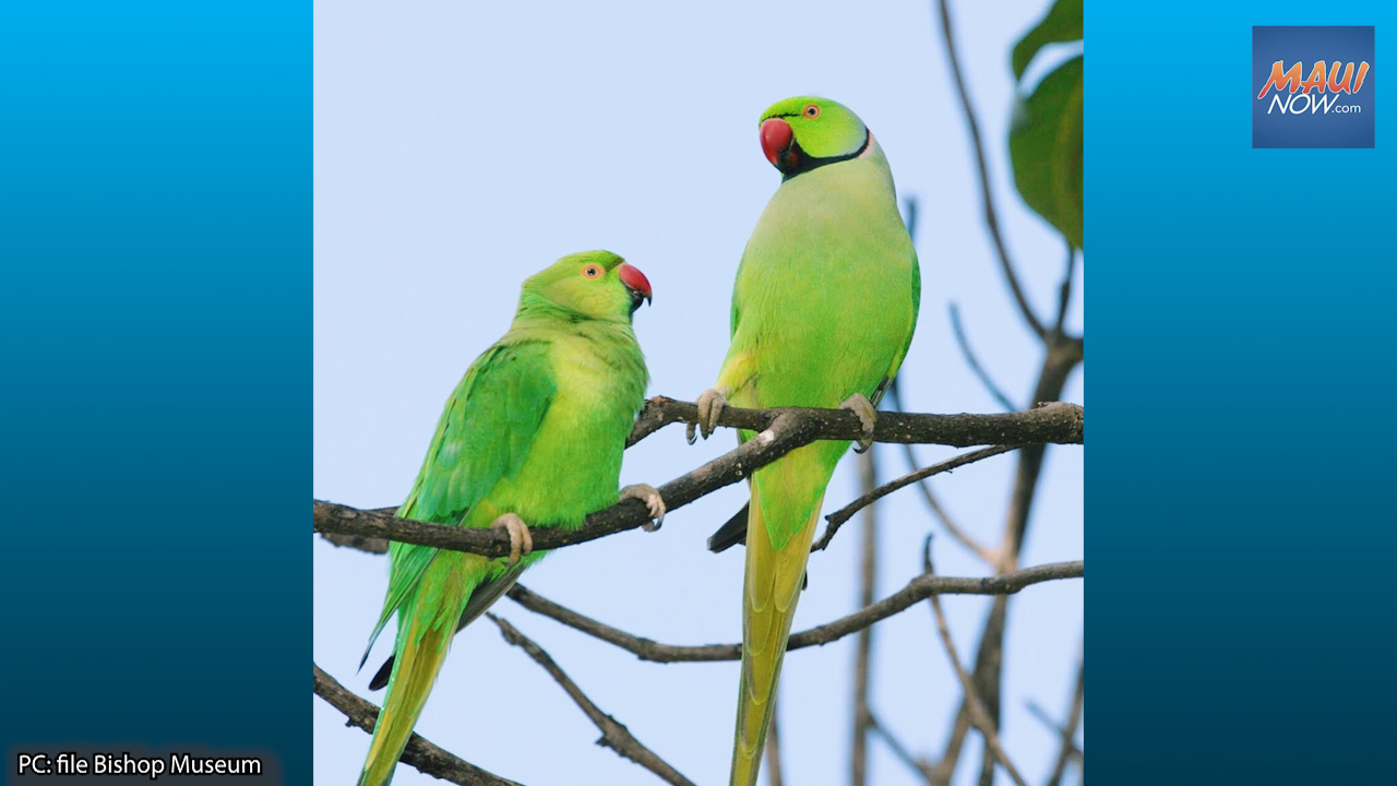 New Invasive Species, Rose-Ringed Parakeets Found on Maui