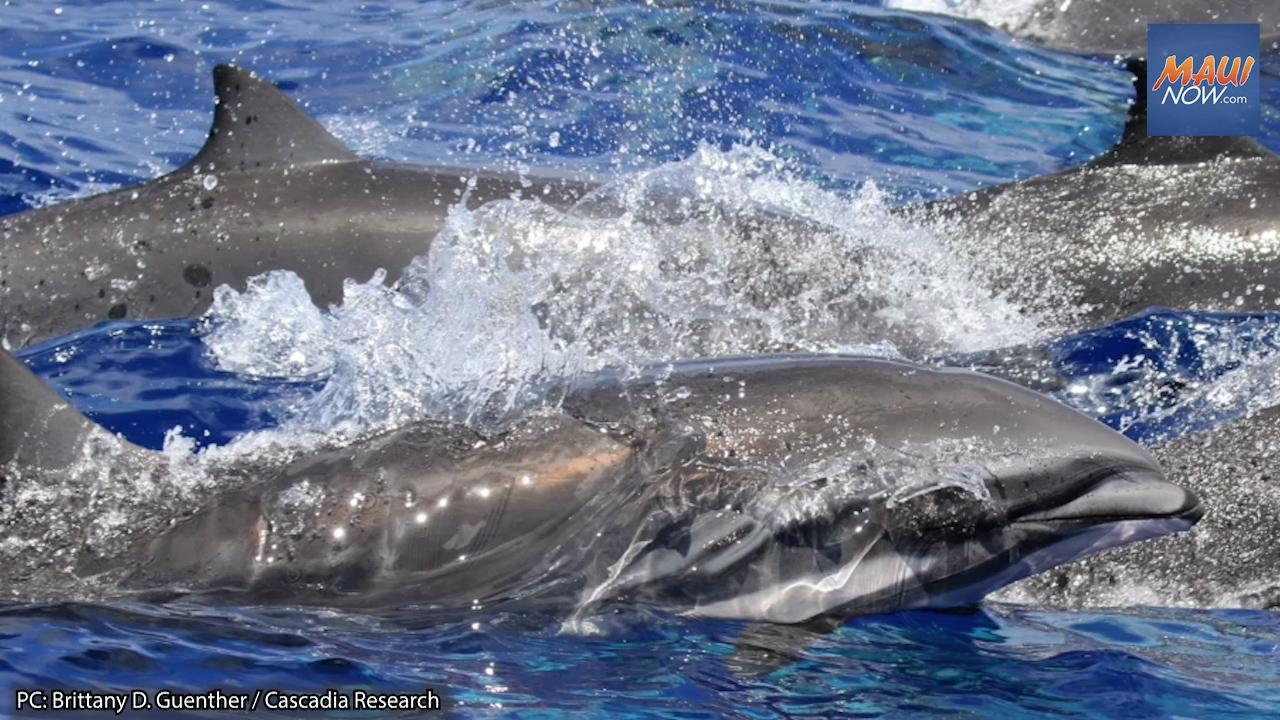 Morbillivirus Disease Found in Deceased Dolphin on Maui in 2018, Raises Concerns
