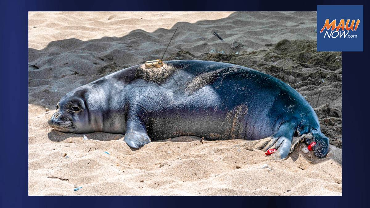Monk Seal Pup Lōliʻi Released on Protected Beach at Marine Corps Base Hawaiʻi