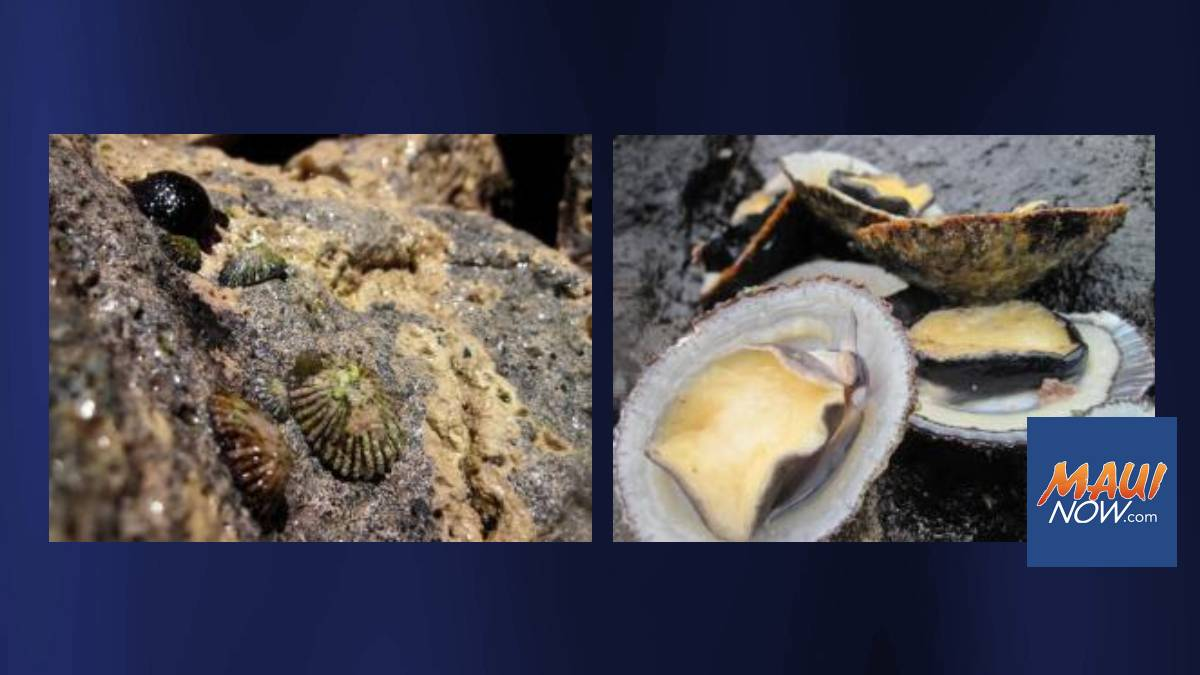 UH Study Finds Growth of Delicacy 'Opihi Influenced by Intertidal Environment