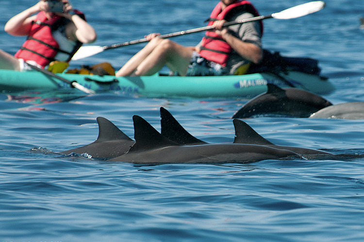New Federal Rule: Stay 50 Yards away from Hawaiian Spinner Dolphins