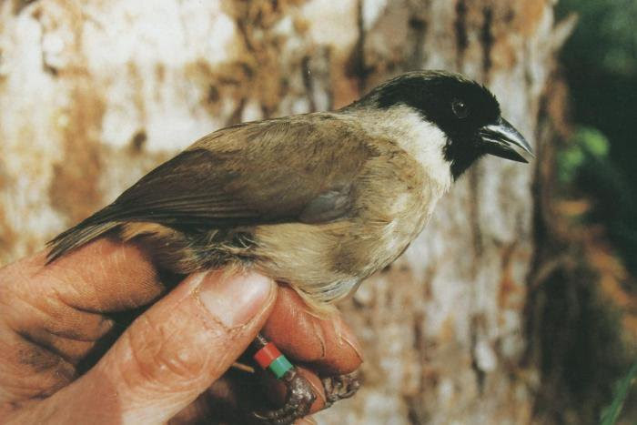4 Bird Species & 1 Mint Plant in Maui County  Proposed for US Extinction List