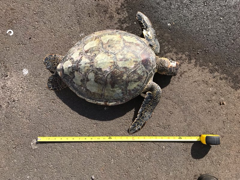 Maui Men Accused of Illegal Take and Possession of a Sea Turtle